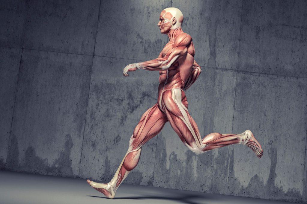 al correr que musculos trabajan